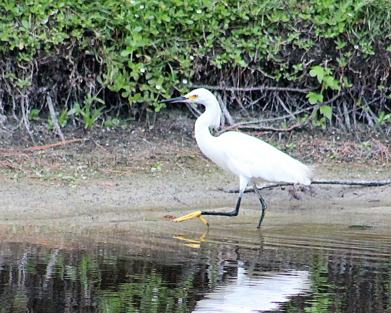 IMG_4024-002 jaunty egret gall