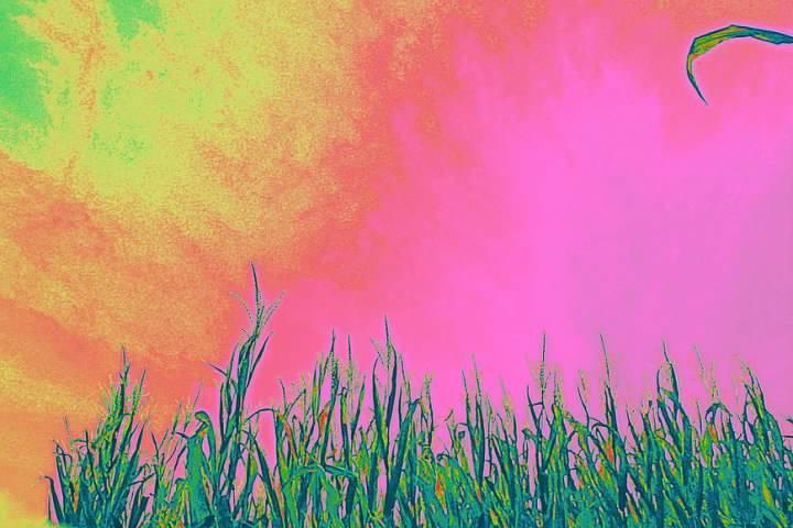 neon cornfield wout lower border gall