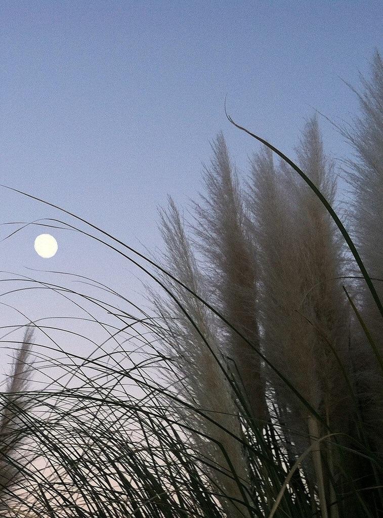moon n fluffy plants gall